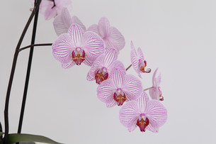 Pink orchid flowersの写真素材 [FYI03483602]
