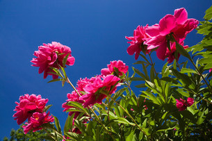 Close up of pink flowers outdoorsの写真素材 [FYI03484008]