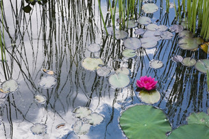 Water lilies floating in pondの写真素材 [FYI03484042]