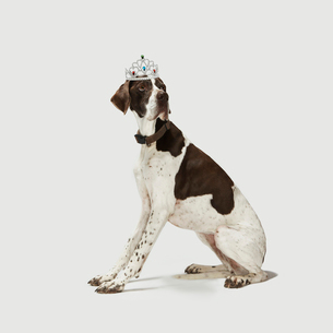 Dog sitting with a tiara on headの写真素材 [FYI03485627]