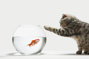 Cat attacking a fishの写真素材 [FYI03485638]