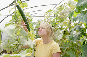 farm worker assesses cucumber plantの写真素材 [FYI03486721]