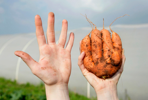 farm worker holding odd shaped carrotの写真素材 [FYI03486725]