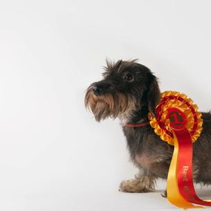 Dog wearing first prize ribbonの写真素材 [FYI03487154]