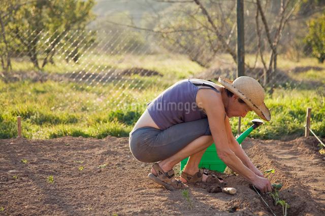 gardening on organic farm in Spainの写真素材 [FYI03489161]