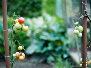 Some tomatoes on tomato plants.の写真素材 [FYI03489211]