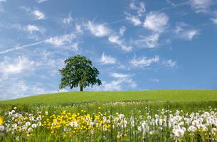 Oak tree on hill in springの写真素材 [FYI03489460]