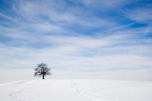Oak tree on snowy hill in winterの写真素材 [FYI03489461]