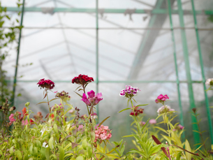Pink Flowers In Green Houseの写真素材 [FYI03489711]