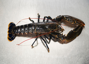 A lobster on a stainless steel surfaceの写真素材 [FYI03490351]