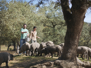 Man and woman on farm feeding pigsの写真素材 [FYI03491164]