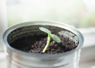 Seedling in canの写真素材 [FYI03491224]