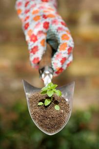 Hand holding plant on garden trowelの写真素材 [FYI03491825]