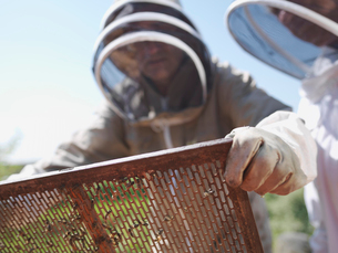 Beekeeper lifts queen bee excluder meshの写真素材 [FYI03491893]