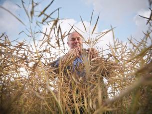 Farmer examining rapeseed in fieldの写真素材 [FYI03495328]