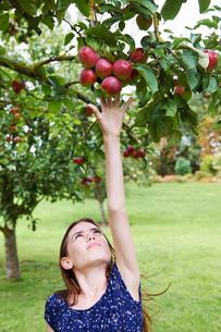 Girl picking fruit from treeの写真素材 [FYI03495693]