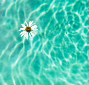 Flower floating in swimming poolの写真素材 [FYI03496008]