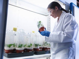 Scientist examining potted plants in labの写真素材 [FYI03497806]