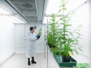 Scientist examining potted plants in labの写真素材 [FYI03497810]