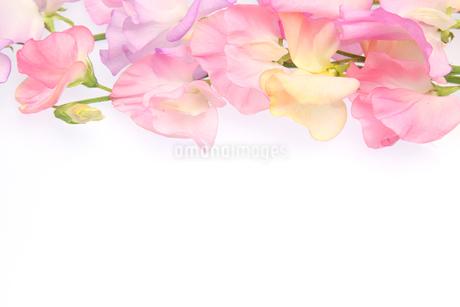 スイートピーの花束の写真素材 [FYI03499746]