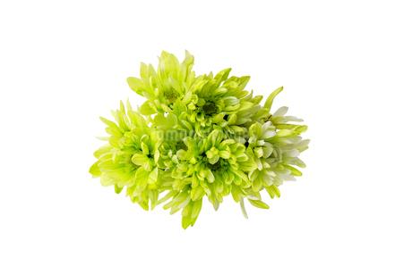 菊の花束の写真素材 [FYI03499767]