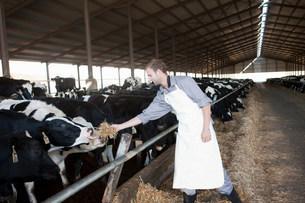 Worker feeding cows at dairy farmの写真素材 [FYI03500070]