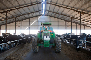 Worker driving tractor in cattle shedの写真素材 [FYI03500074]