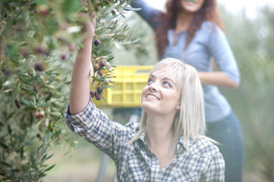 Woman picking olives in olive groveの写真素材 [FYI03500248]