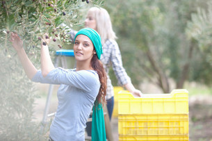 Two women picking olives in olive groveの写真素材 [FYI03500251]