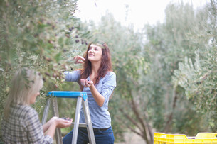 Two women picking olives in olive grove with stepladdersの写真素材 [FYI03500252]
