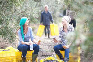 Women sitting on crates taking a break in olive groveの写真素材 [FYI03500254]
