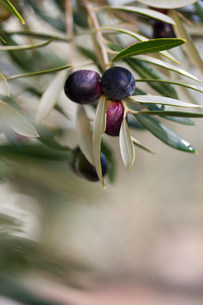 Olives growing on plant in olive grove, close upの写真素材 [FYI03500259]