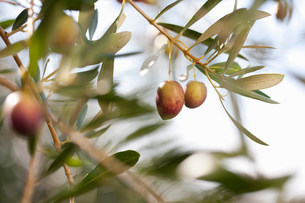 Olives growing on plant in olive grove, close upの写真素材 [FYI03500262]