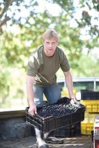 Man lifting crate of olives in olive groveの写真素材 [FYI03500264]