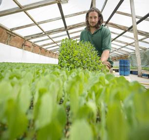 Farmer planting seedlings in polytunnel on organic farmの写真素材 [FYI03502156]