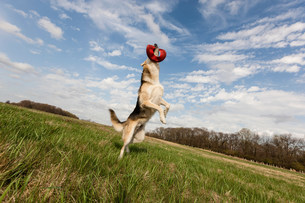 Alsatian dog leaping up to catch frisbeeの写真素材 [FYI03502460]
