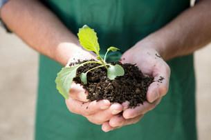 Close up of organic farmer holding seedlingの写真素材 [FYI03503776]