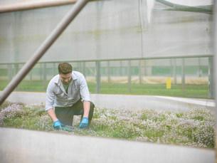 Farmer kneeling to cut thymeの写真素材 [FYI03505540]