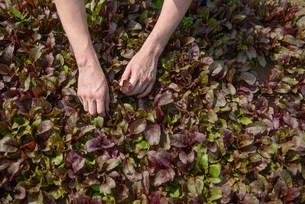Worker picking salad cropの写真素材 [FYI03505552]