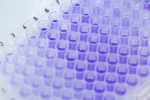 Close up of 96-well microtiter plate with crystal violet solの写真素材 [FYI03506931]