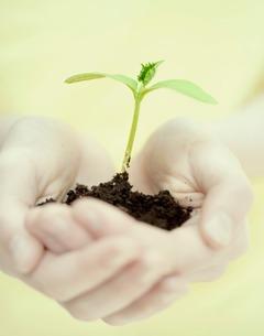 Seedling in cupped handsの写真素材 [FYI03507652]