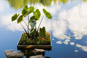 Marigold (Tagetes Patula) and Elephant-ear (Colocasia) in floating flower boxの写真素材 [FYI03509764]