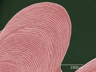 Coloured SEM of fish scaleの写真素材 [FYI03511725]