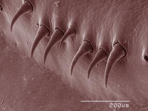 Coloured SEM of crayfish setaeの写真素材 [FYI03511824]