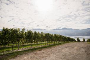 Vineyards, Vancouver, British Columbia, Canadaの写真素材 [FYI03513422]
