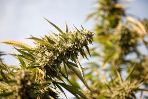 Cannabis flower (Cannabis sativa)の写真素材 [FYI03515165]