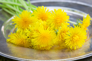 Picked dandelions on a tray (taraxacum officinale). Used in food, drink, herbal medicineの写真素材 [FYI03516042]