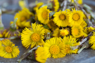 Close up of coltsfoot (tussilago farfara) stems and flowers. Used in herbal medicine and foodの写真素材 [FYI03516047]