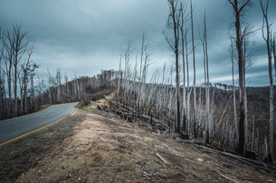 Forest fire ravaged trees towards Mt Hotham, Victoria, Australiaの写真素材 [FYI03516705]