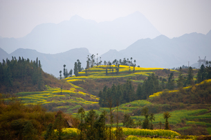 Misty view of field terraces, some with blooming oil seed rape plants, Luoping,Yunnan, Chinaの写真素材 [FYI03517206]